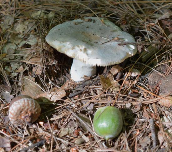 Acornshroomblg