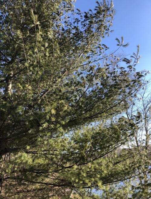 Pinegestureinwind