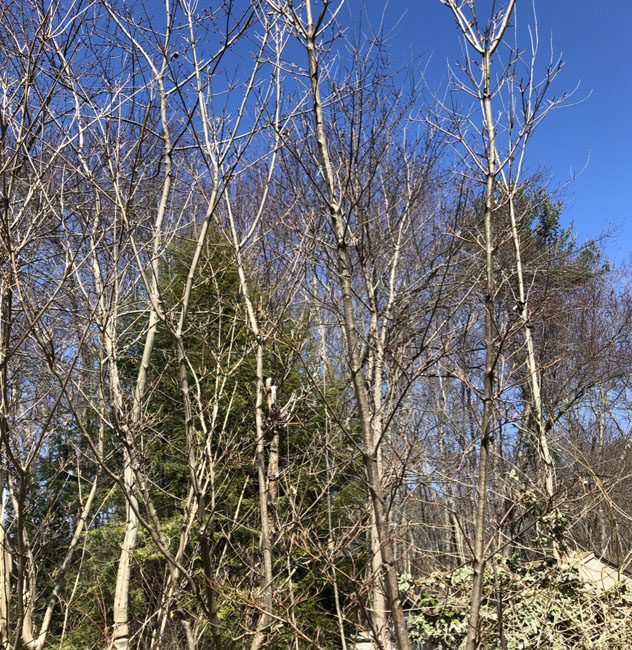 Treeslifeforcerises32620