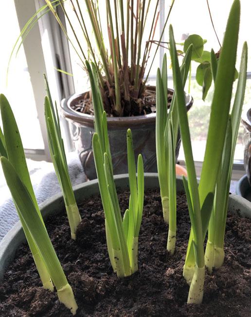 Narcissus22820