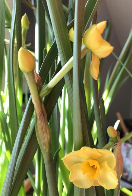 Narcissus030920