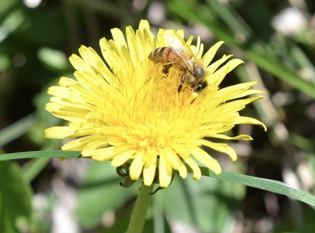 Dandelionbeeblg