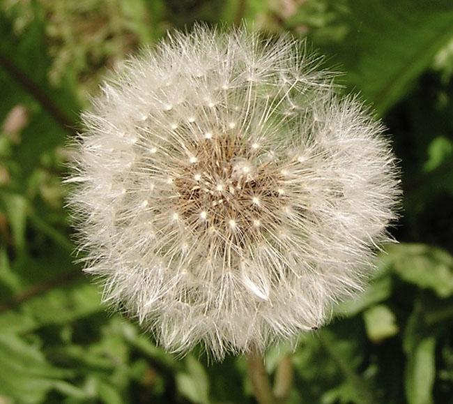 Dandelionseedhead