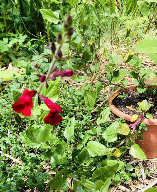 Firstredsageflowers62620
