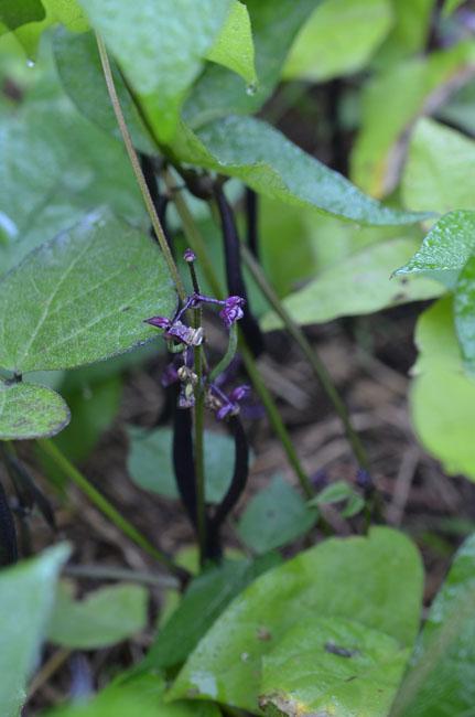 Purplebeens