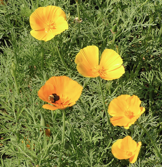 Californiapoppieshillside