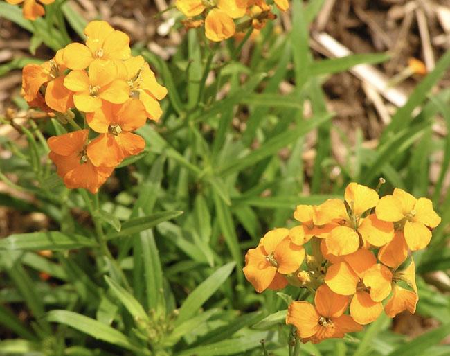 Orangesiberianwallflower