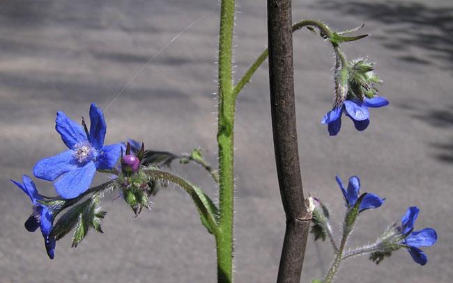 Bluealkanet