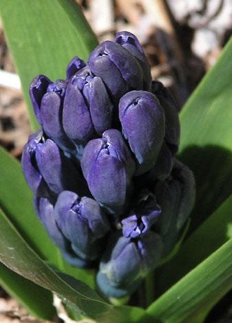 Bluebuds