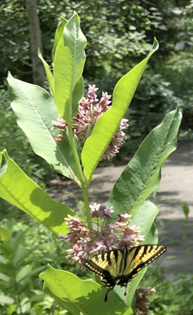Milkweedswallowtail70820