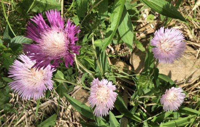 Violetcentaurea72120