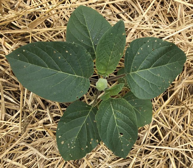 Daturaafterplanting
