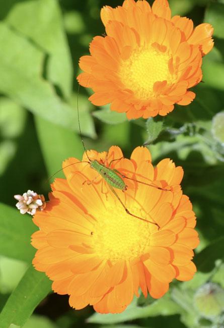 Orangecalendula