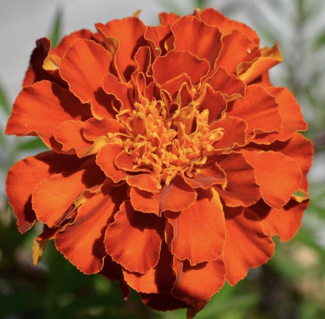Orangemarigoldsun