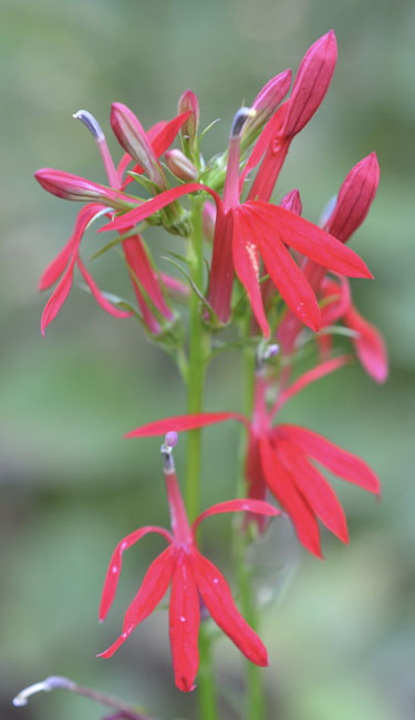 REDcardinalflower