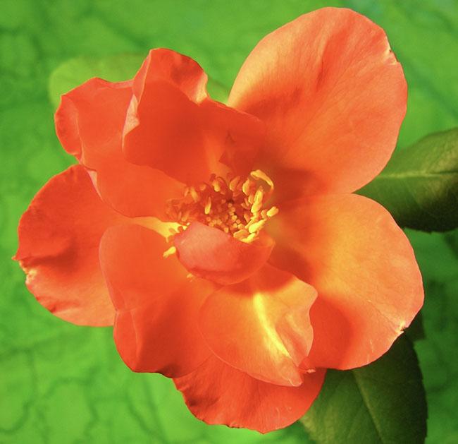 Orangeoldfashionedsunsetrose