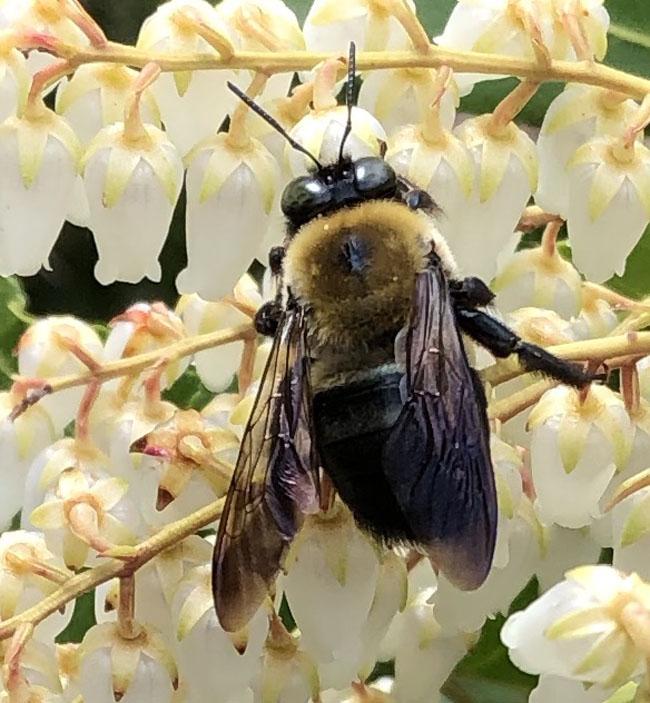 Bumblebee41721