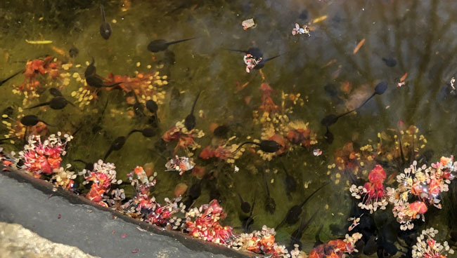 Tadpolesnmapleflowers