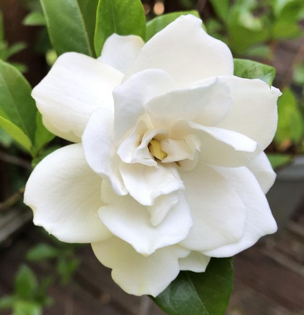 Gardenia71320