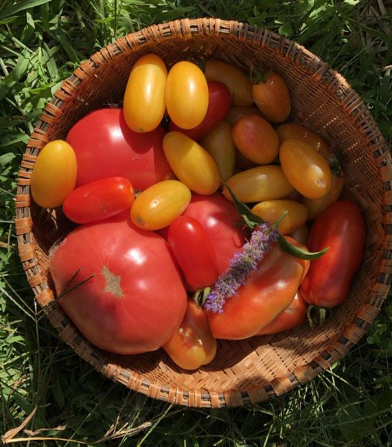 Tomatoes81820