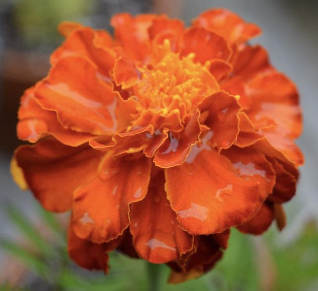 Orangemarigoldrain