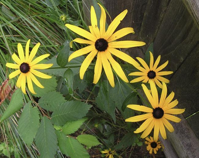 Yellowrudbeckia