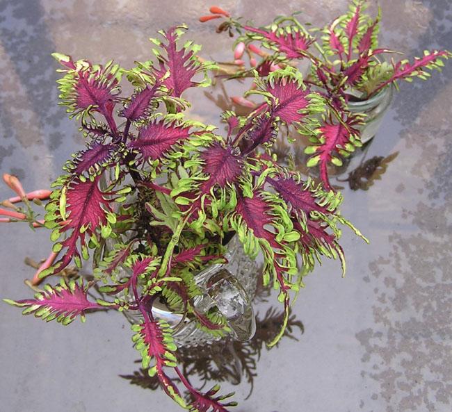 Greenmagentacoleus