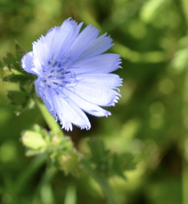 Blueradicchio
