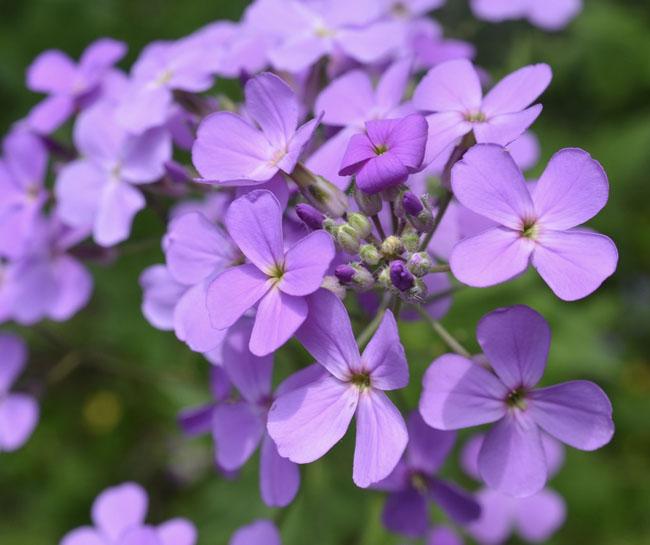 Violetsweetrocket60221
