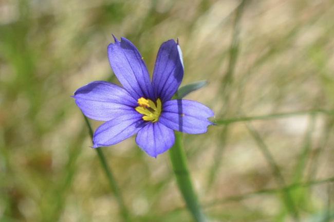 Blueeyedgrass60221